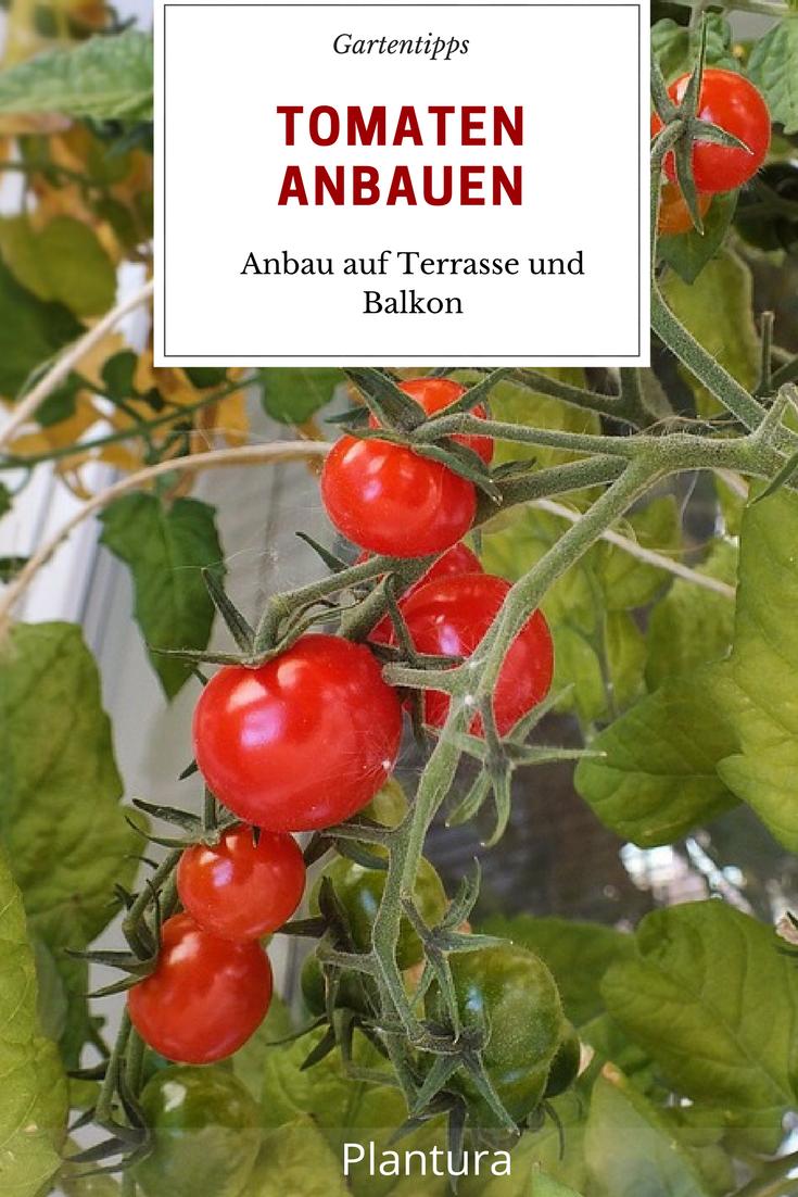 Tomaten Anbau Auf Terrasse Und Balkon Anbau Von Pflanzen