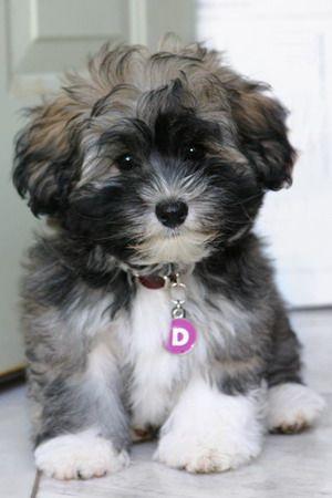 Havanese Cutie Cute Animals Puppies Best Hypoallergenic Dogs