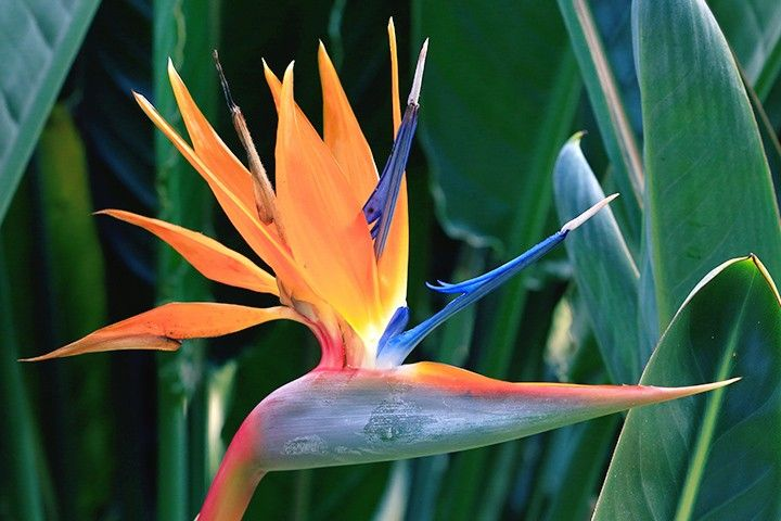 Bird Of Paradise Flower Of Aquarius Aquarius Flower Birds Of Paradise Flower Birds Of Paradise
