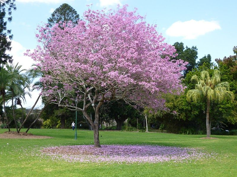 Cuban Pink Trumpet Tree Tabebuia Pallida Outdoor Landscaping Street Trees Trees To Plant