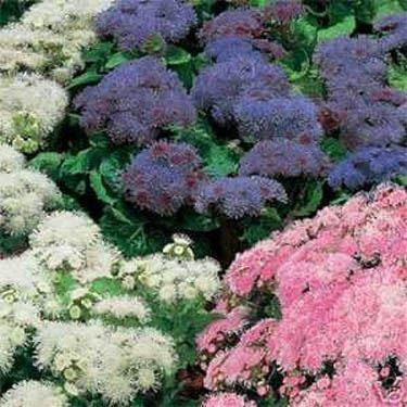 Ageratum Seeds Floss Flower Seed Mix Flower Seeds Plants Planting Bulbs