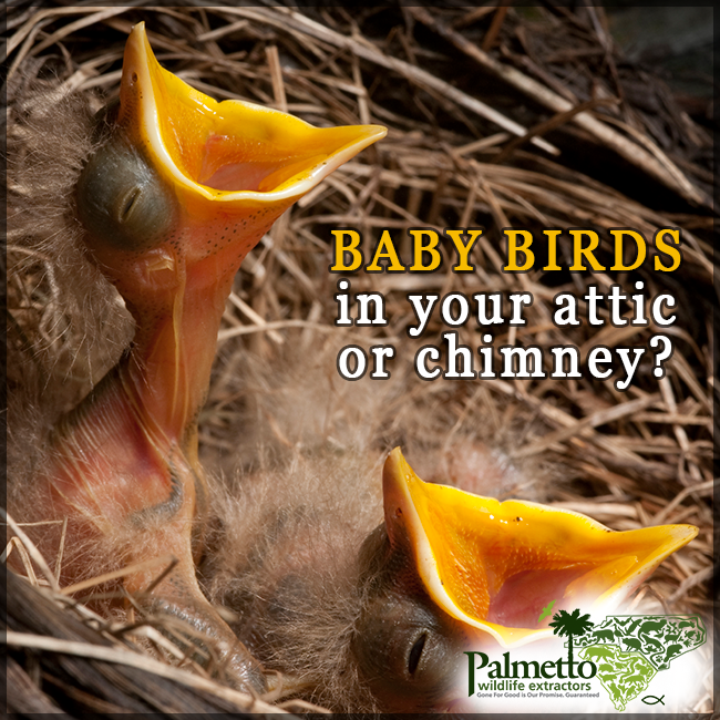 Having Birds Take Up Residence In Your Chimney Or Attic Can Be Very Aggravating The Constant Noise They Make Is So Annoying Baby Bird Pet Care Birds
