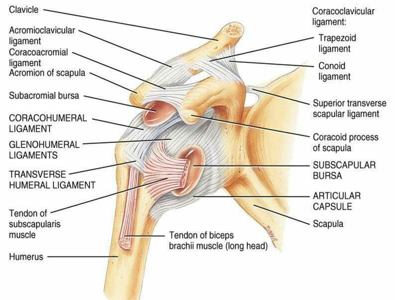 Glenohumeral Ligaments. | Massage Therapy | Pinterest | Shoulder ...