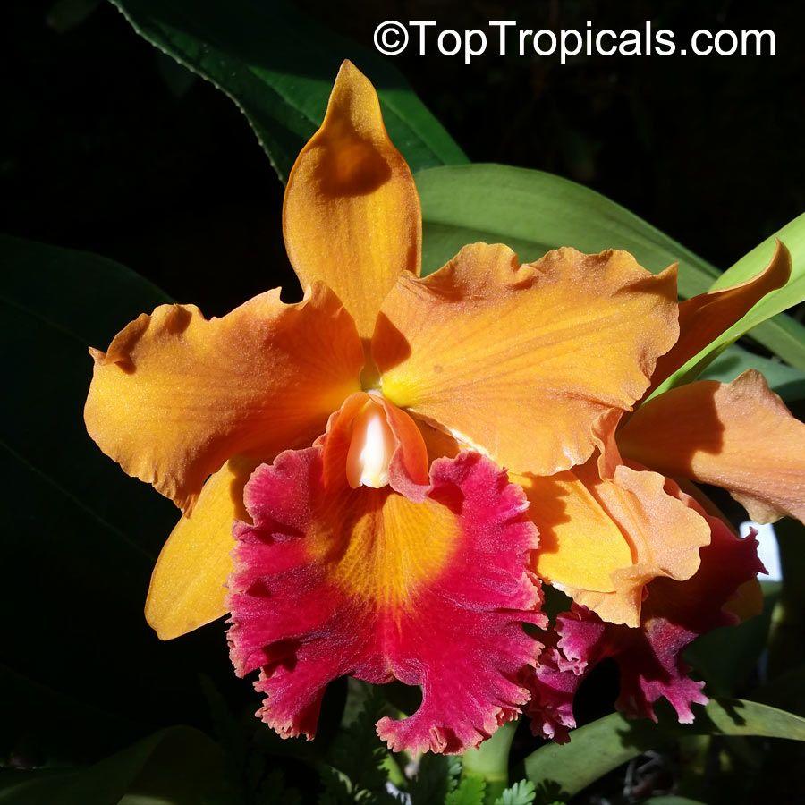 Cattleya Sp Cattleya Orchid Cattleya Cattleya Orchid Orchids