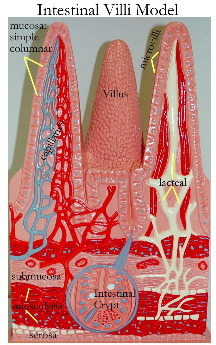 Image result for villi anatomy