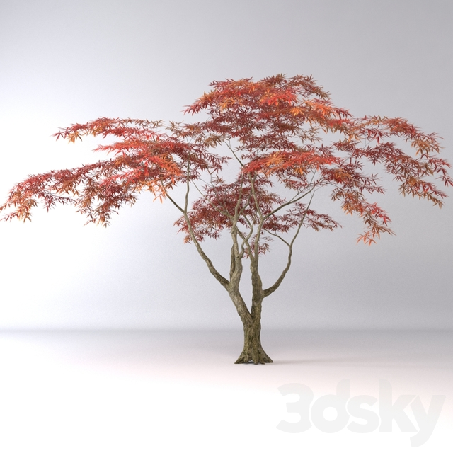 3d Models Tree Japanese Maple Tree