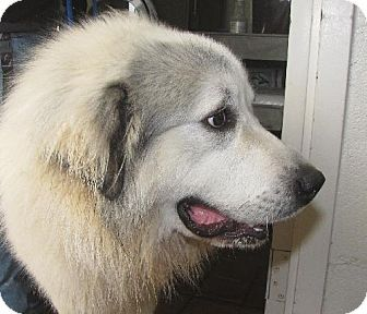 No Longer Listed Ncarolina Teton 0251 Is A Gt Pyrenees Mix
