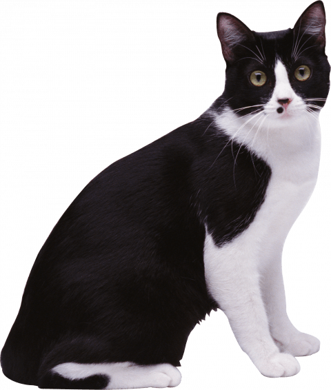 Black Cat Png Transparent Image Black Cat Pngget To Download Free Black Cat Png Vector Photo In Hd Quality Without Limit It Co Cats Free Cats Vector Photo