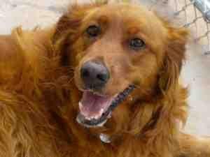 Honey Is An Adoptable Golden Retriever Dog In Greenville Sc