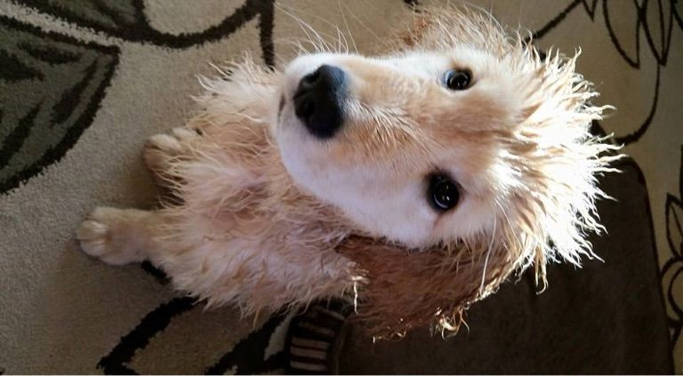 Reuben Comfort Dog I Had A Bath Before Church Today I M Really