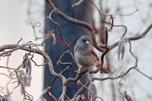 This dark-eyed junco appears to be enjoying the catkins (cylinder flowers) of my Corylus avellana 'Contorta.' It may be one of their last times together for the season, as last year, the juncoes disappeared on April 15th (which is tomorrow), perhaps avoiding filing taxes. I'm sure this fine shrub will miss this little songster and will look forward to the late fall, which has been the standard return time for juncoes.