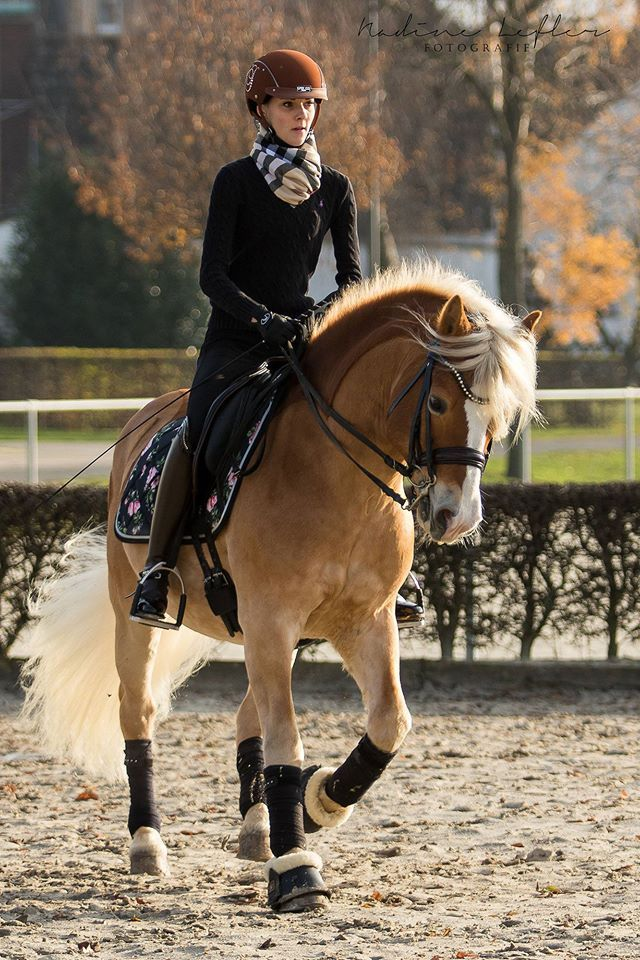 Onwijs Meet Hercules my new Halflinger pony. He's at dressage and jumping FA-72