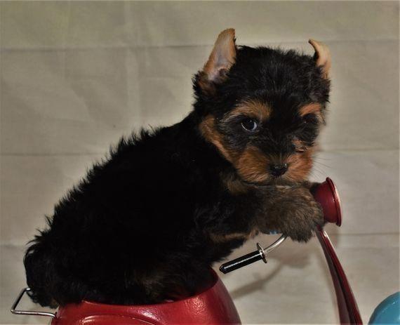 Taylor Yorkshire Terrier Puppy Puppyspot Yorkshireterrier