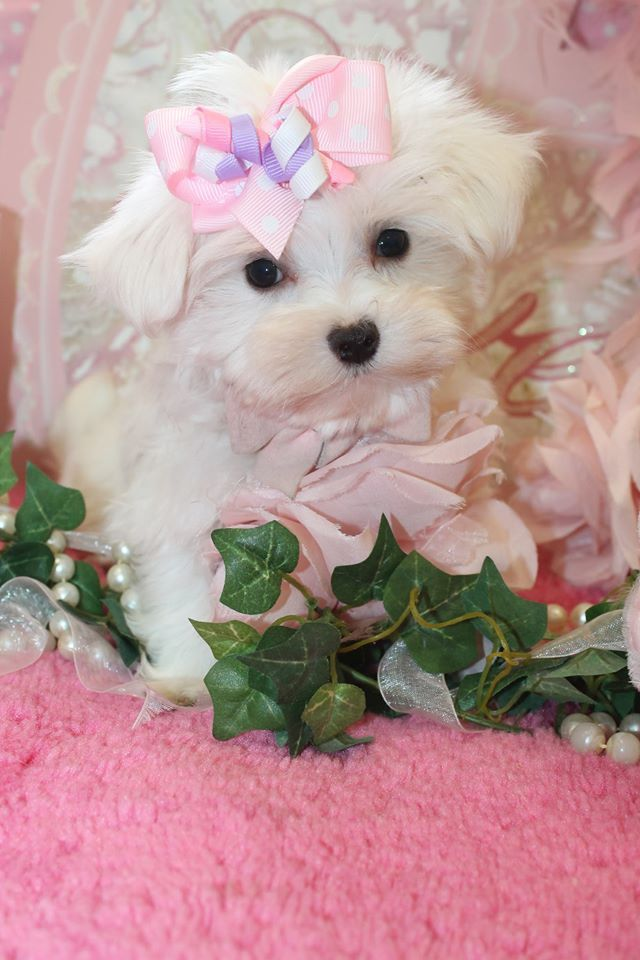 Teacup Maltese Puppy For Sale In Florida Totito Pinterest