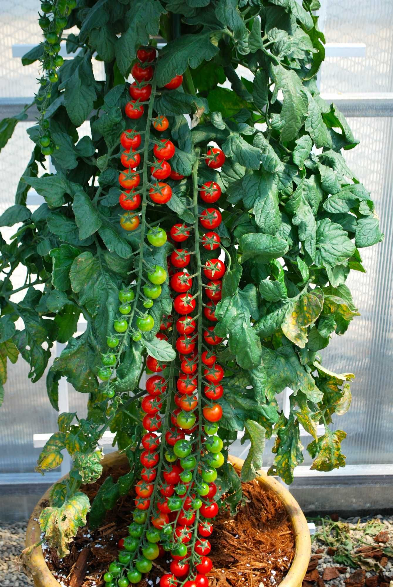 Rapunzel tomato love to grow this
