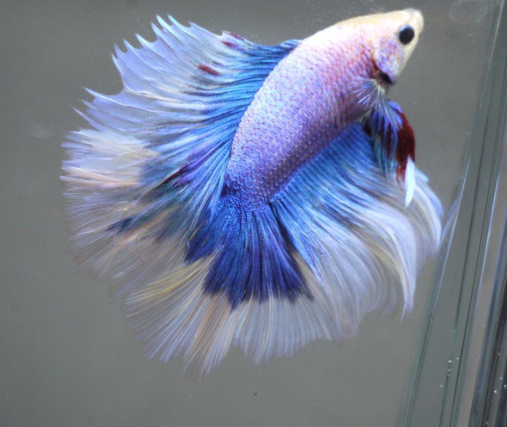 Betta Tropical Fish | Live Tropical Fish Double Tail Halfmoon Betta H65 Big Fins Ebay