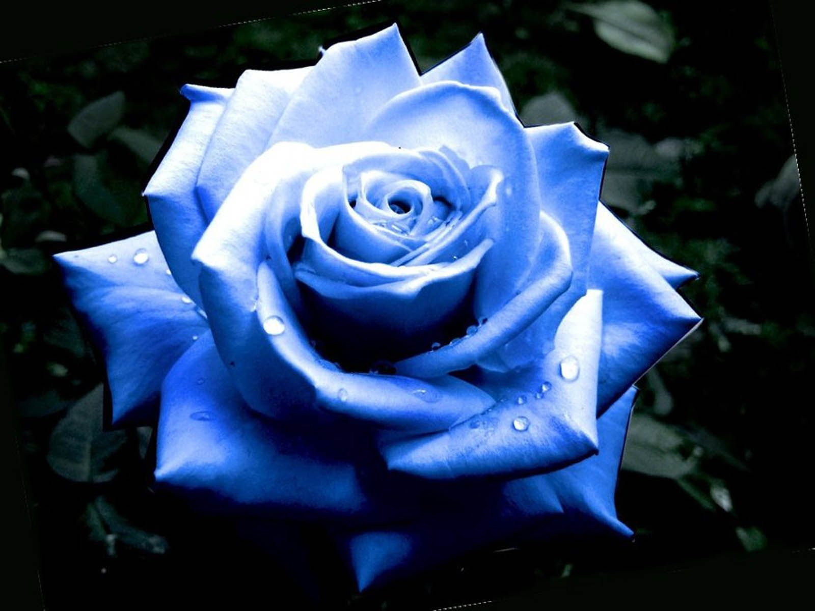 Blue roses you are watching the blue rose flowers beautiful blue blue roses you are watching the blue rose flowers beautiful blue rose flower izmirmasajfo