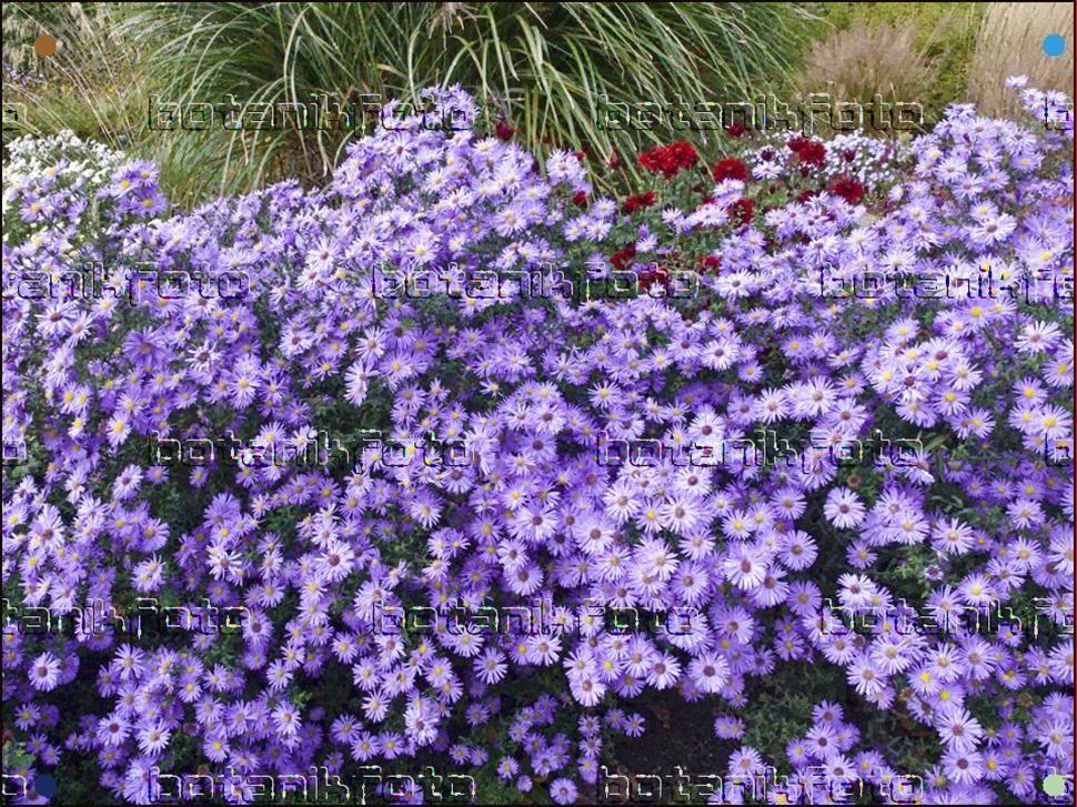 Aster Novi Belgii Dauerblau Garden Flower Beds Flower Garden Shade Plants