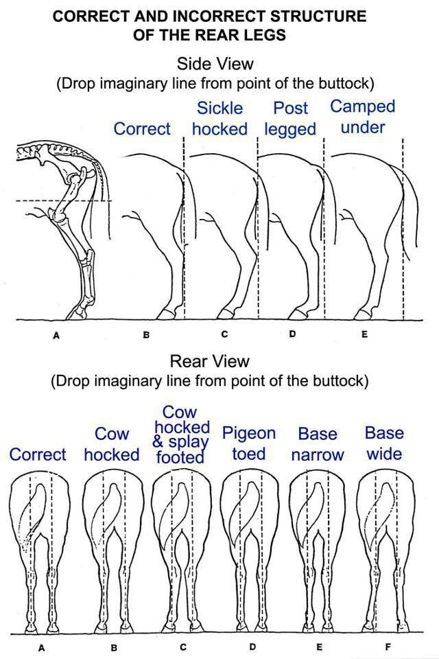 Equine Limb Anatomy Horse Leg Conformation Home Stuff