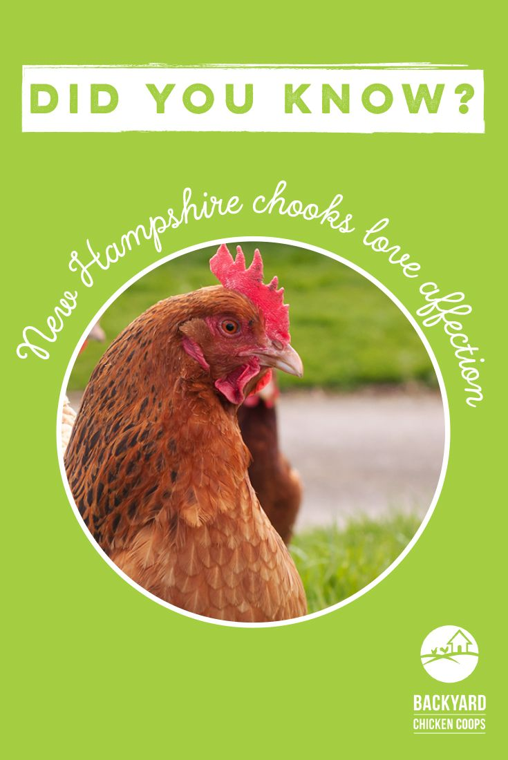 5 Reasons to Love New Hampshire Chickens New hampshire