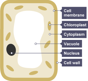 The plant cell is surrounded by a cell wall for structure ...