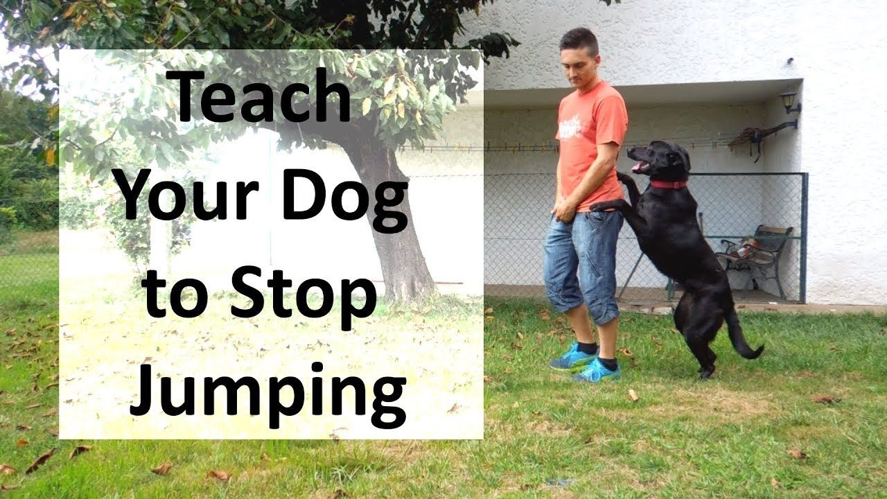 How To Train Your Dog To Stop Jumping Up On People Youtube Dog