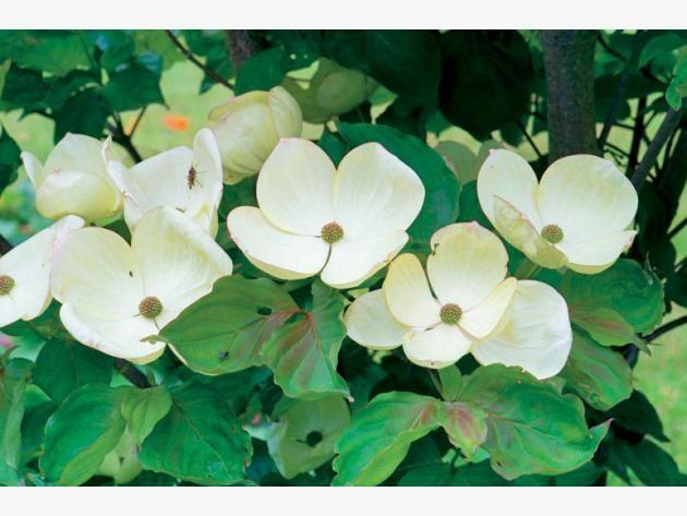 Blumen-Hartriegel: Vornehme Eleganz | Venus