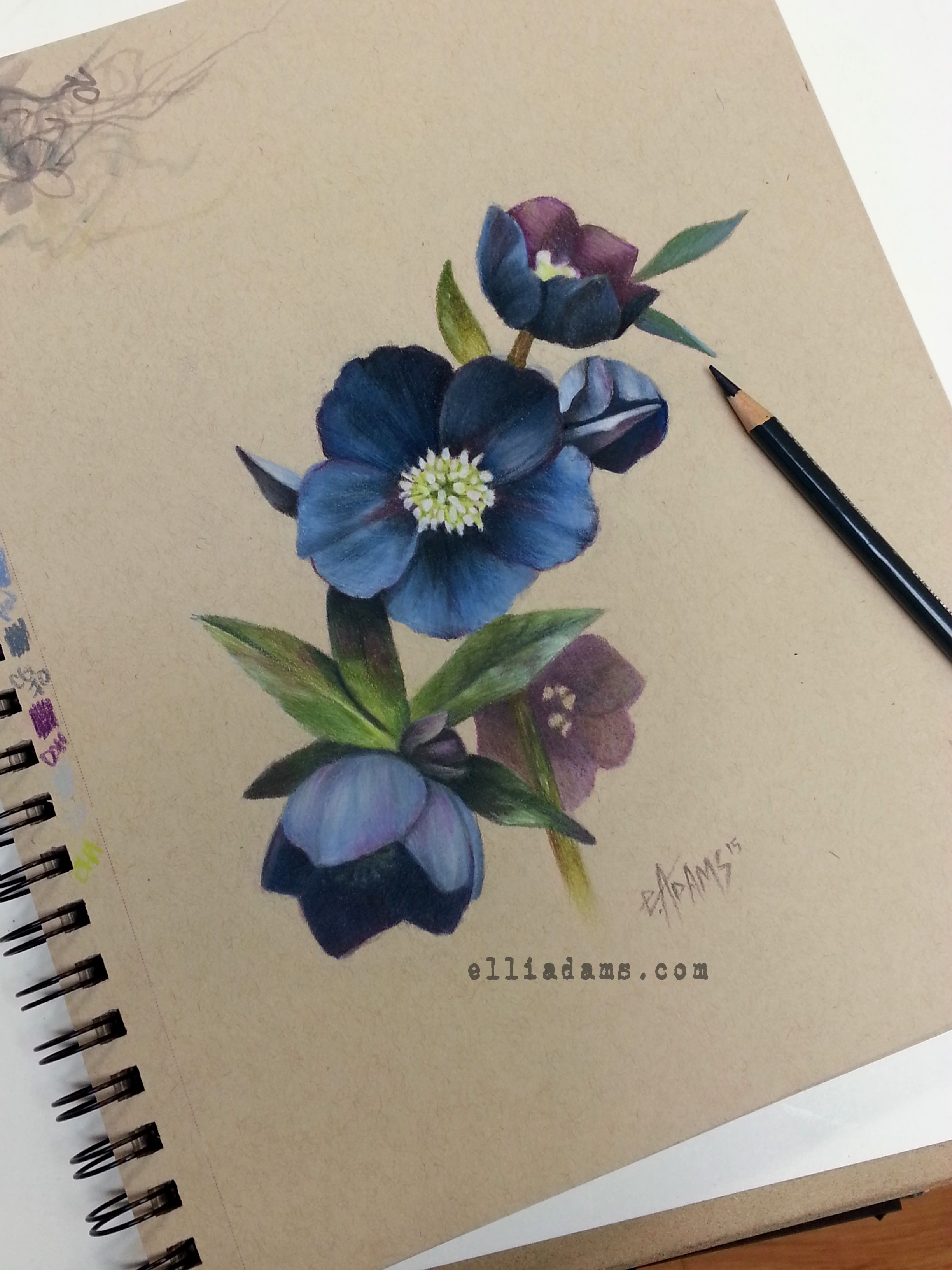Black Hellebore Study I Did In Colored Pencil And Marker On