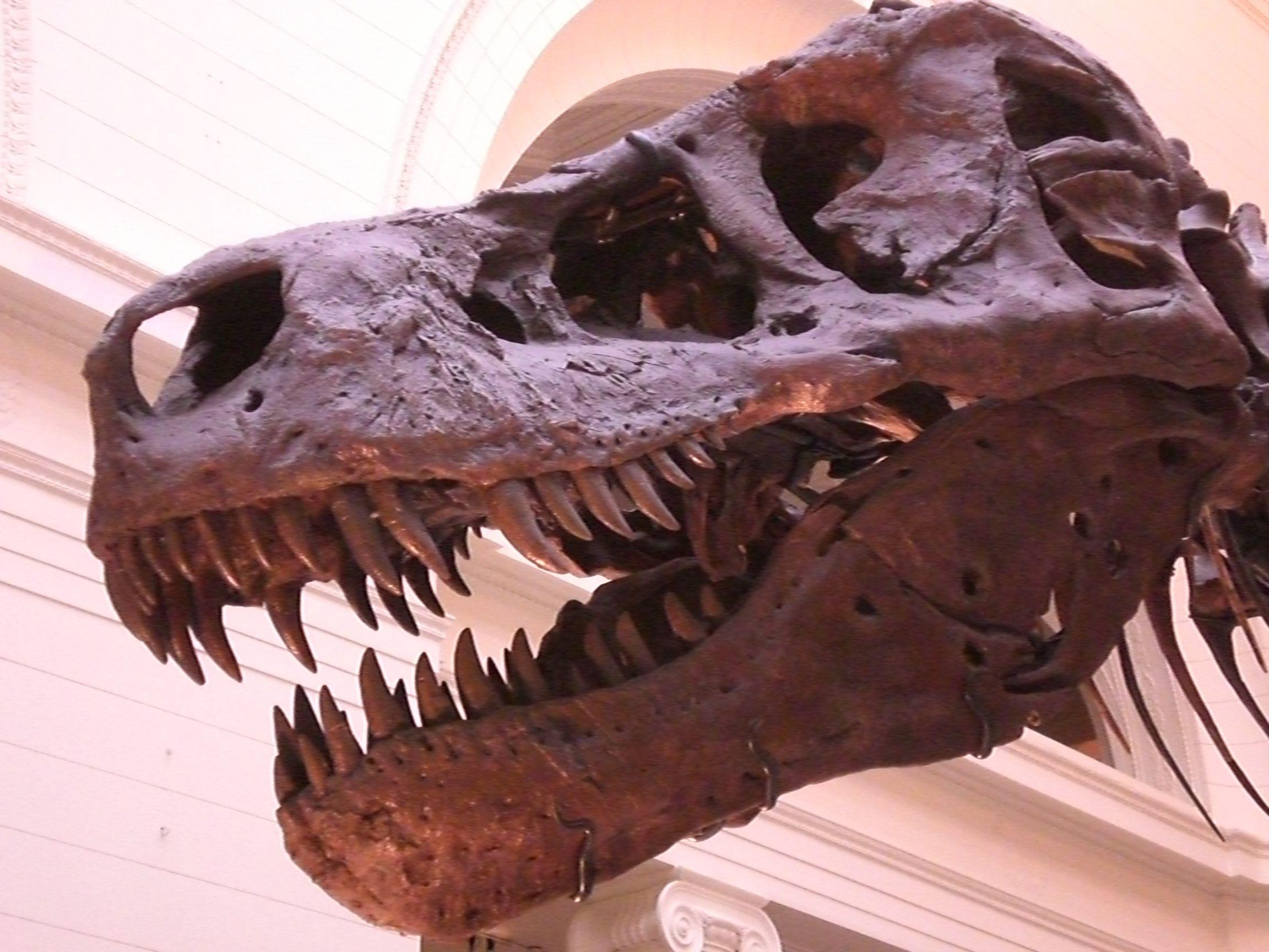 L'insospettabile leggerezza dei dinosauri    Pesi e taglie di questi animali preistorici, rettili e non, potrebbero essere parecchio inferiori di quanto finora pensato. Uno studio dell'Università di Manchester su Biology Letters  Leggi l'articolo su Galileo (http://www.galileonet.it/articles/4fd070f872b7ab589b000022)  Credit immagine: Caterina Visco