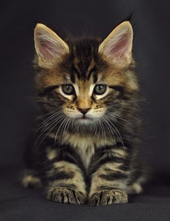 MaineCoon Kitten named Oracle