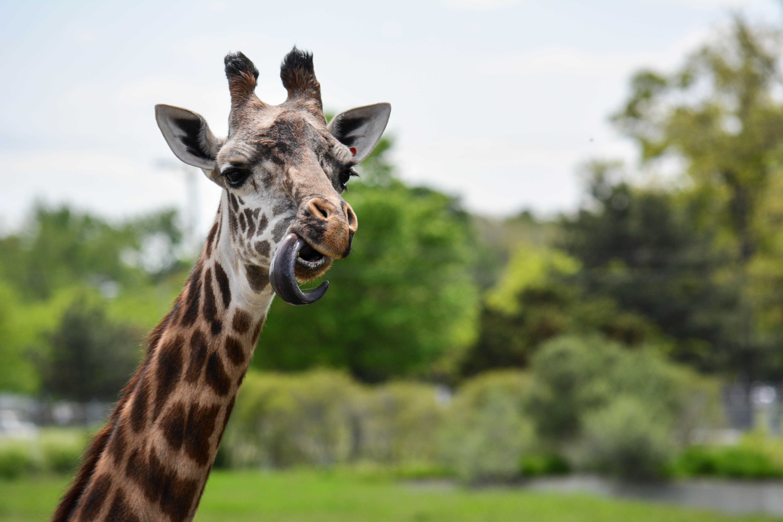 Toledo Zoo Giraffe Animals, Zoo giraffe, Giraffe