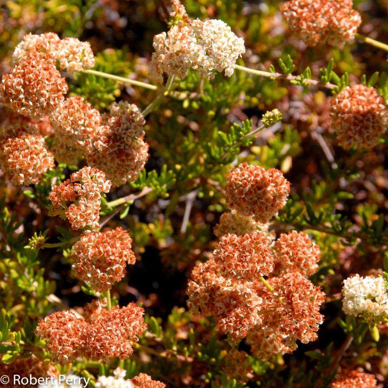 Theodore Payne buckwheat | California native plants ...