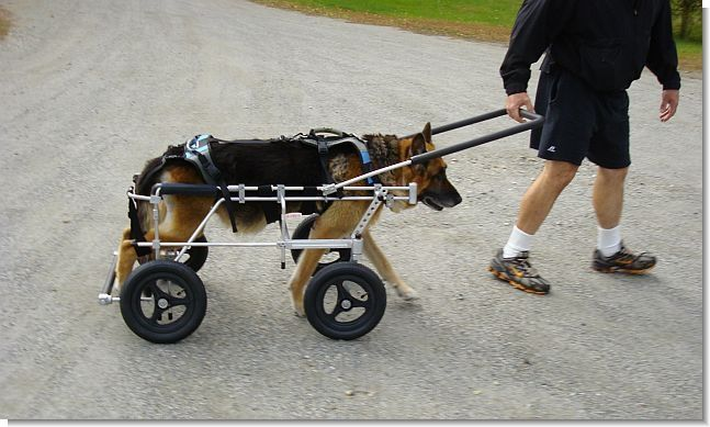 Quads And Walkers Dog Wheelchair Paralyzed Dog Pets