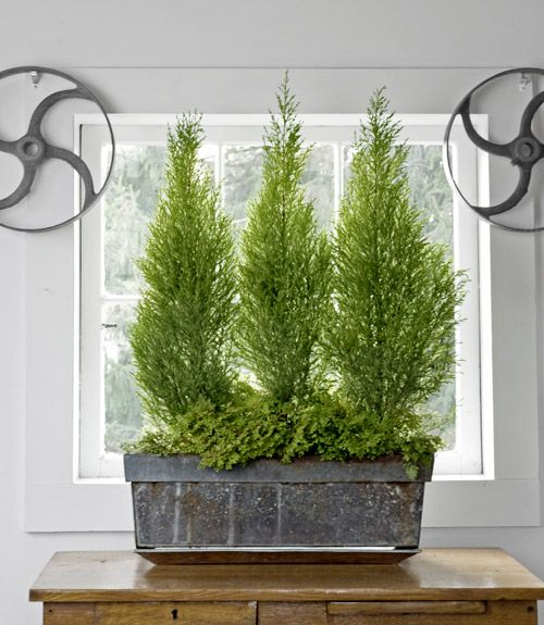 The Monterey Cyprus (Cupressus macrocarpa) is common in December as a mini Christmas  tree, but we like to grow them all year. #houseplants #gardens - 17 Of The Best Indoor Plants To Make Your Home Feel Unique Gardens