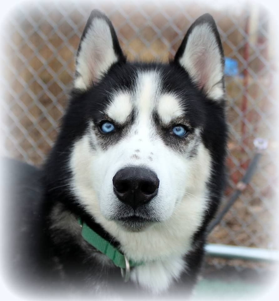 Siberian Husky Dog For Adoption In Matawan Nj Adn 501667 On