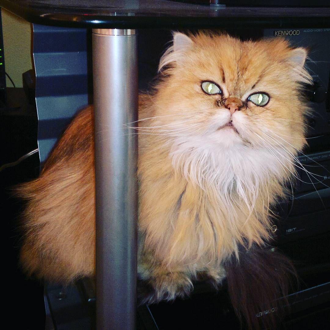 """""""#bidipoes #persiancat"""""""