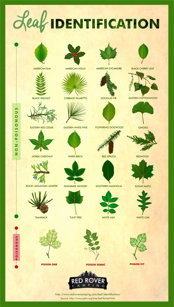 best 25 types of ivy ideas on pinterest poison leaves types of poisoning and leaf identification. Black Bedroom Furniture Sets. Home Design Ideas