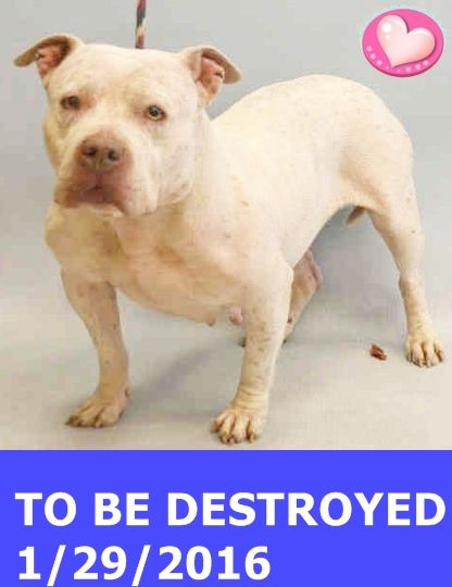 SAFE 2-1-2016 by Louie's Legacy Animal Rescue --- Manhattan Center NURAY – A1063448  FEMALE, WHITE / RED TICK, STAFFORDSHIRE MIX, 6 yrs STRAY – STRAY WAIT, NO HOLD Reason STRAY Intake condition UNSPECIFIE Intake Date 01/22/2016 http://nycdogs.urgentpodr.org/nuray-a1063448/