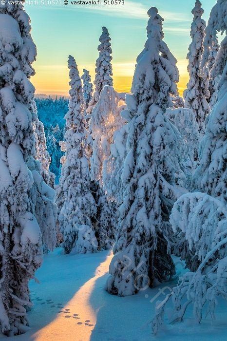 Tykkymetsä - lumi jää huurre tykky jääkiteet tykkymetsä tykkypuut vaara vaarat tunturi tunturit Rukatunturi Ruka Kuusamo hanki pakkanen talvi-ilta auringonlasku talvi jänis jäniksen jäljet