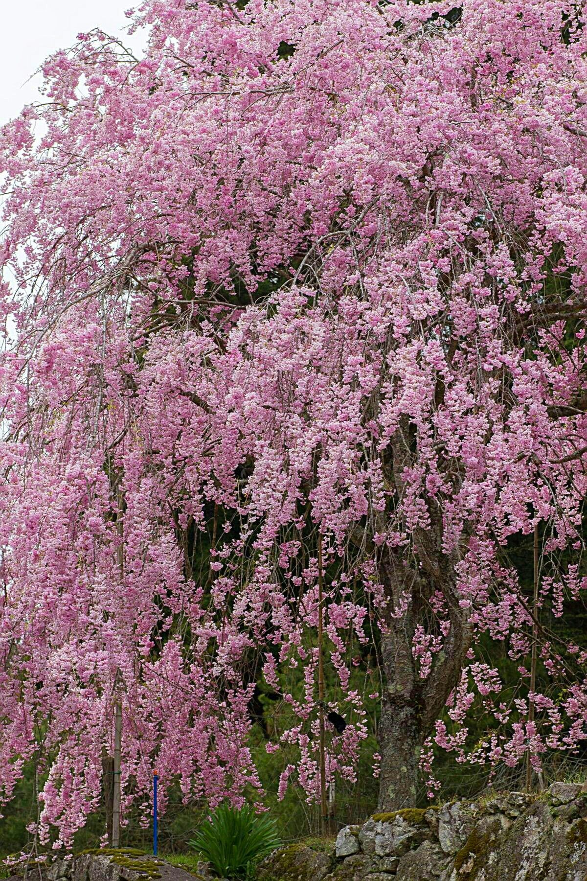 Pin By Shamsinar On Cherry Blossoms Weeping Cherry Tree Cherry Tree Blossom Trees