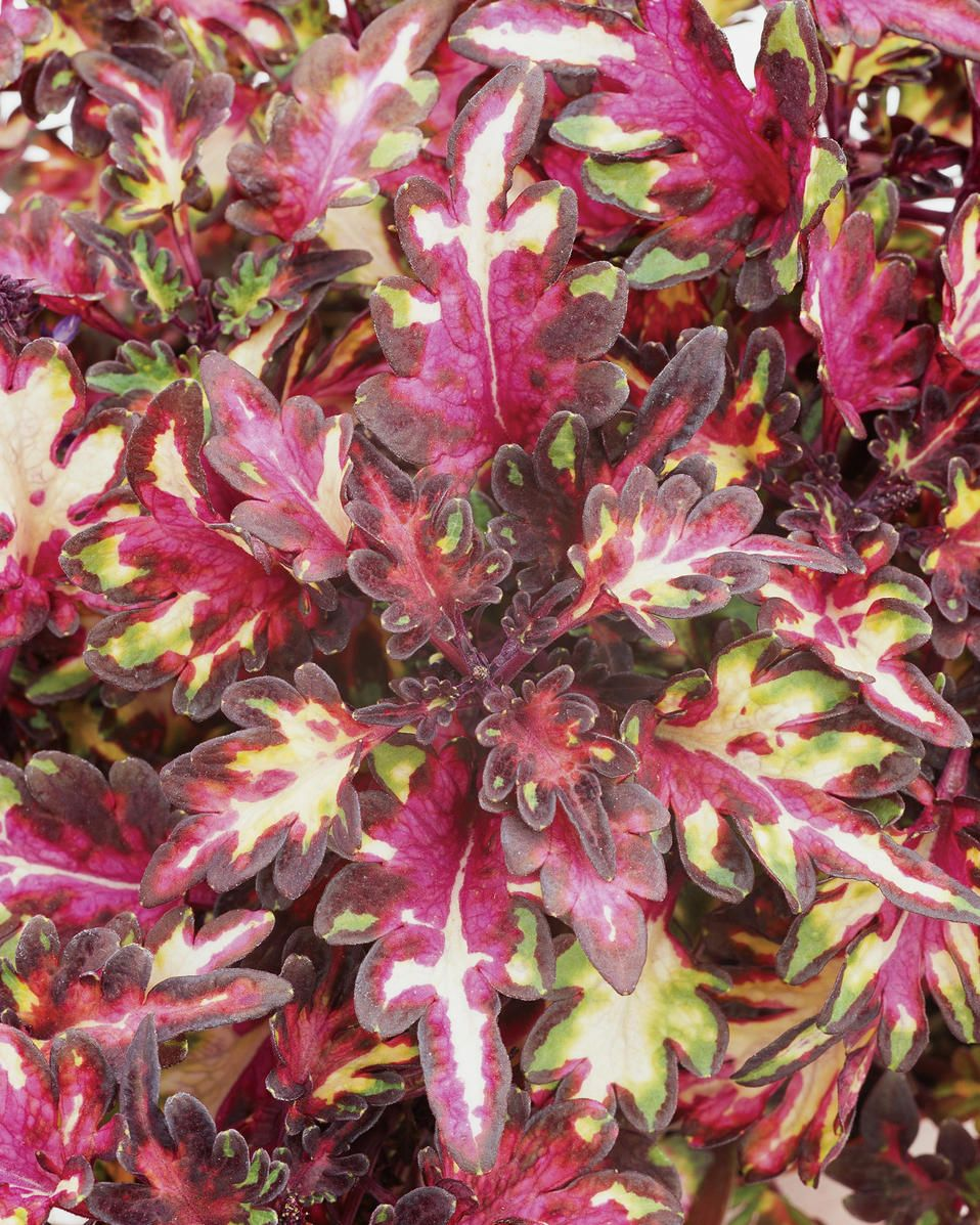 Merlin S Magic Extremely Compact Uniform Foliage Featuring A Blend Of Rich Purple Green And Pink Tones Best Seller Award Plants Shade Plants Backyard Flowers