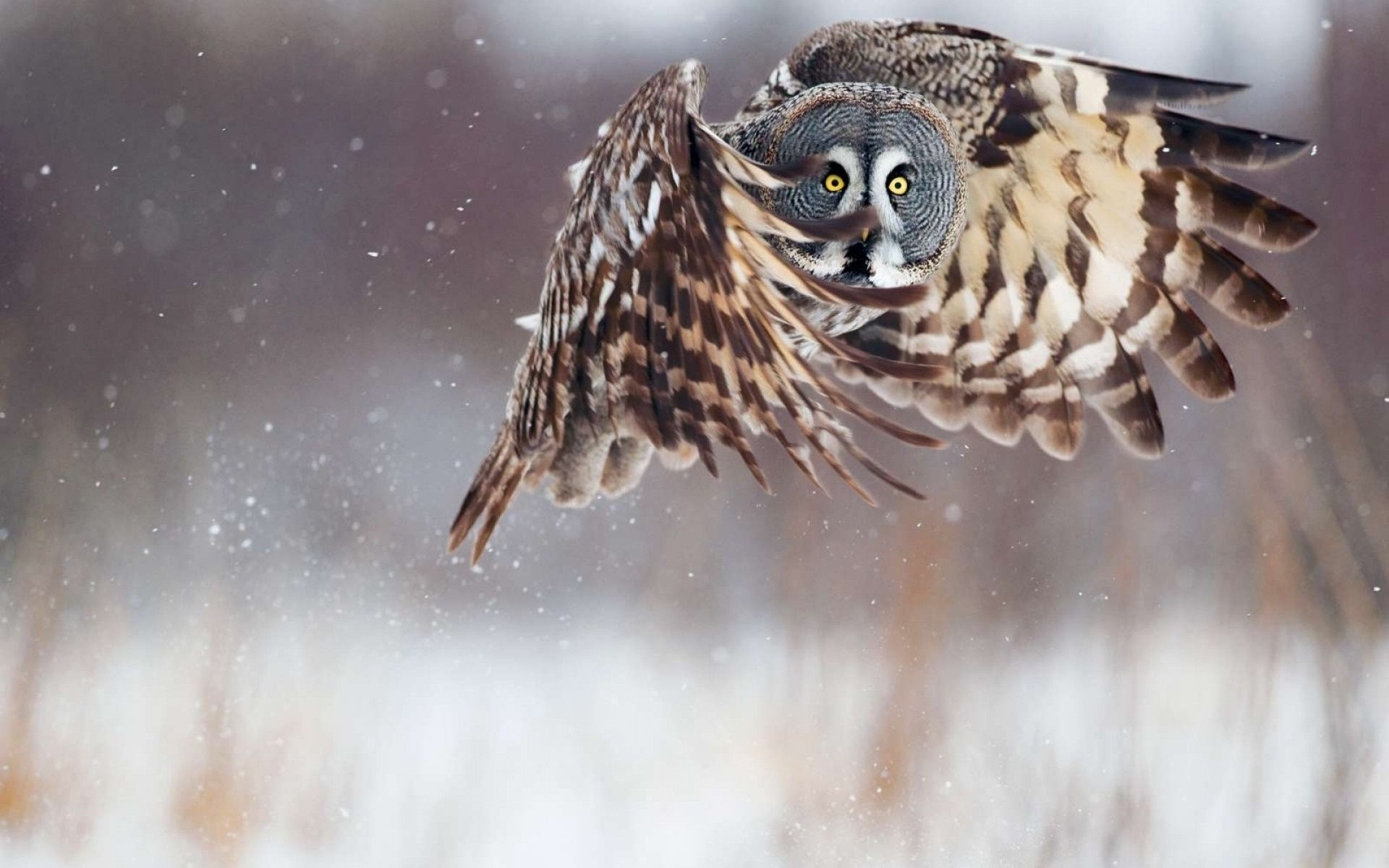 Image detail for bird, owl, snow, winter, animals Free