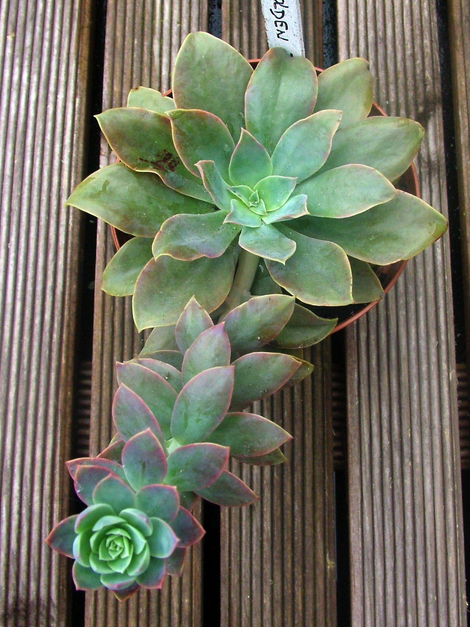 Echeveria Golden Towers Cactus Y Suculentas