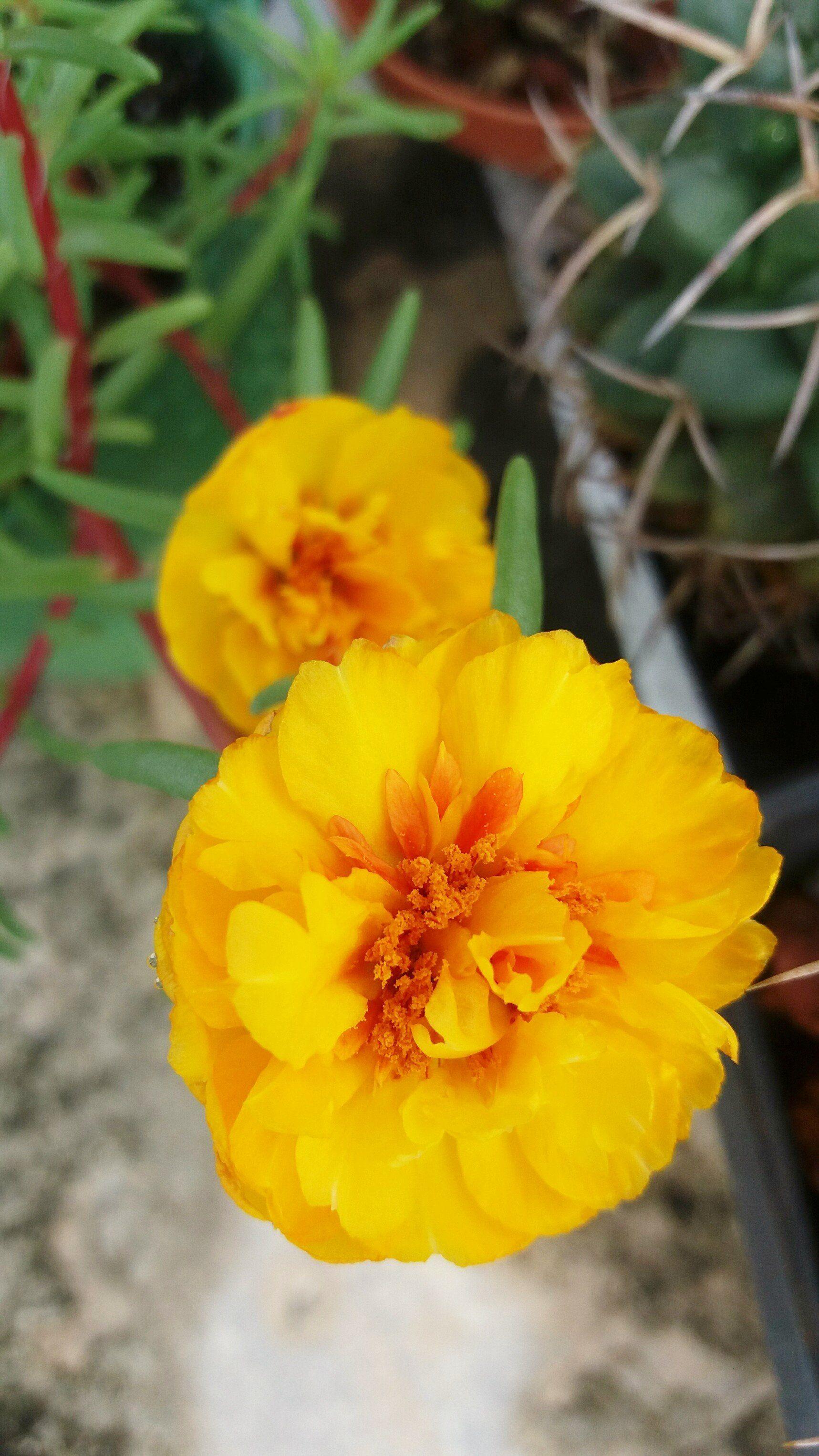 blackmagic   Cactus   Pinterest   Cacti 5eef64e917f9