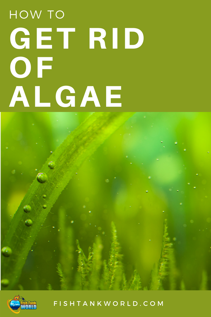 How To Get Rid Of Algae In A Fish Tank Fish Tank World Saltwater Fish Tanks Fish Tank Fish Tank Cleaning