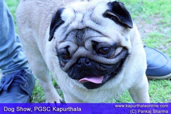 Pug Dog Breed At Dog Show In Kapurthala Dog Breeds Dog Show Pugs