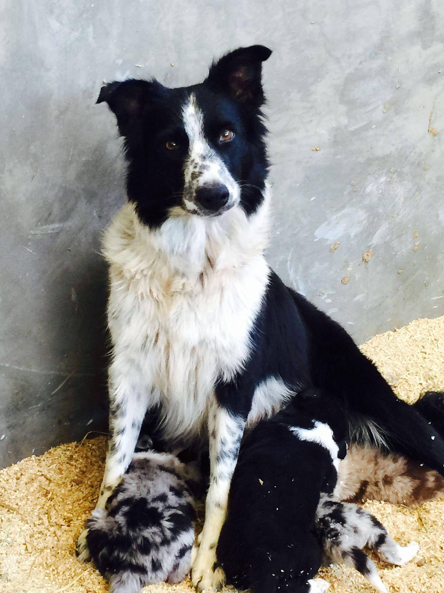 Exceptional Sable Tri Colour Border Collie Pups Dumfries