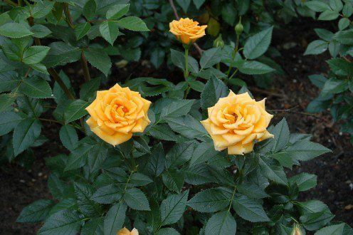 Yellow Roses Bush Flowers Bush Flowers Roses Yellow In 2020 With Images Rose Care Roses Garden Care Planting Roses