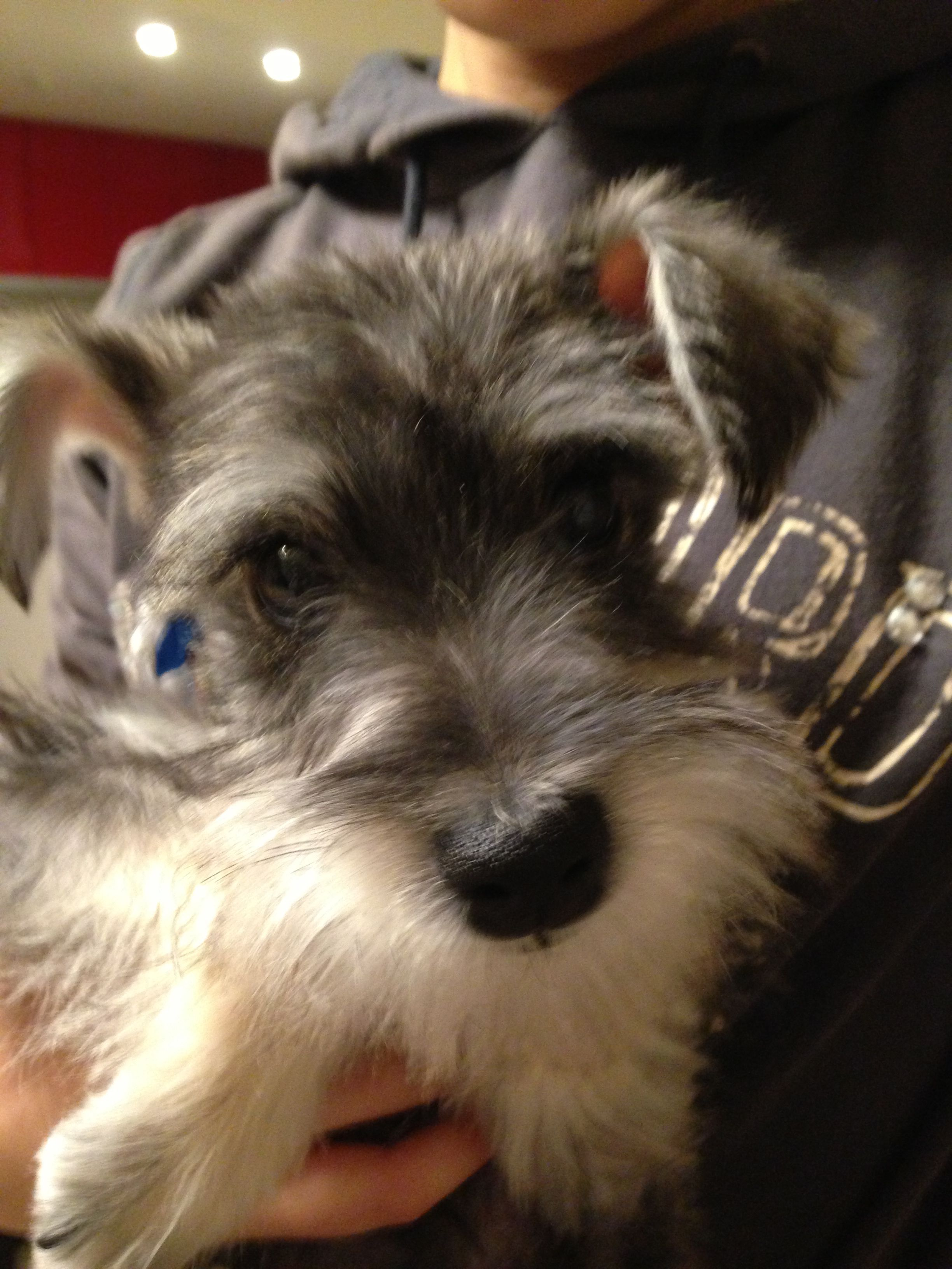 Our New Family Harry Miniature Schnauzer Puppies Dogs