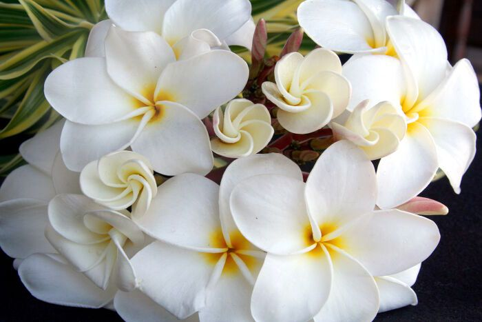 A Plumeria Branch Forms A Beautiful White Bouquet Of Flowers Flower Meanings Plumeria Bouquet Bach Flower Remedies